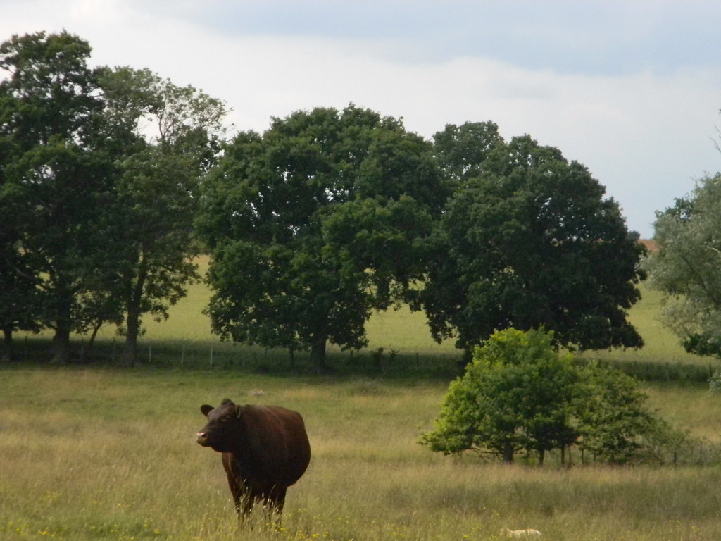 Cow in a field Tenterden to Rye