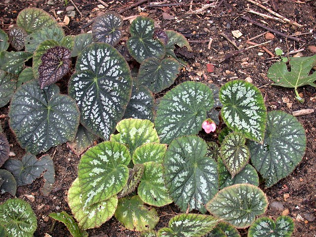 Begonia hybrid seedlings