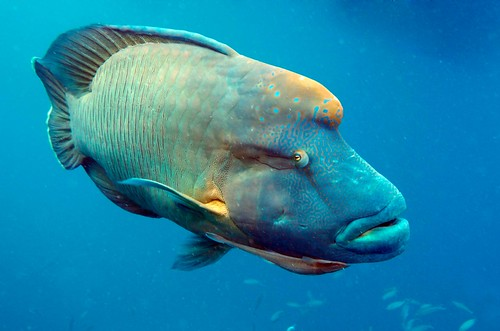 A good look at the intricate patterns and colour of the Humphead Maori Wrasse