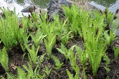 flower(0.0), clubmoss(0.0), vascular plant(1.0), fern(1.0), plant(1.0), herb(1.0), flora(1.0), ostrich fern(1.0),
