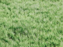 prairie, steppe, field, grass, plain, plant, chrysopogon zizanioides, flora, green, natural environment, meadow, pasture, vegetation, grassland,