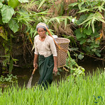 Woman with Basket in Rice Field - Bandarban, Bangladesh