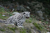 Learn how Panthera is working throughout Asia to save snow leopards like these at www.panthera.org/programs/snow-leopard/snow-leopard-program