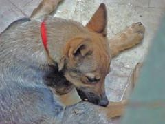 dog breed, animal, dog, pet, mammal, australian cattle dog,