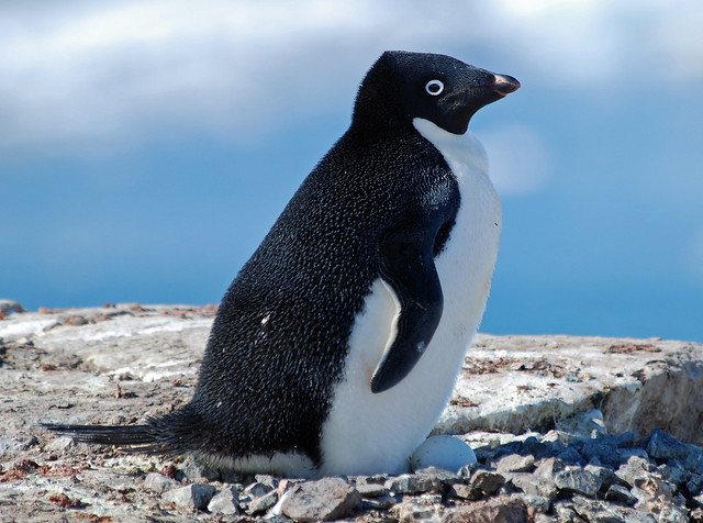 Adelie Penguin, Petermann Island, Antarctic Peninsula