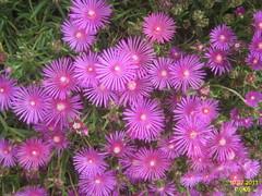 dorotheanthus bellidiformis, aster, annual plant, flower, plant, karkalla, flora, ice plant, petal,