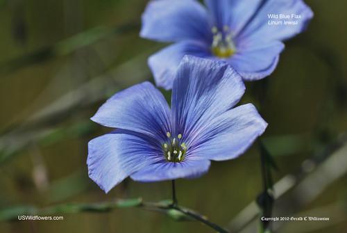 Wild Blue Flax - Linum lewisii