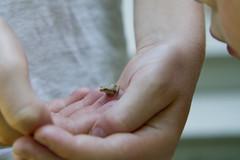 20110716 - Spring Peeper (Tree Frog)