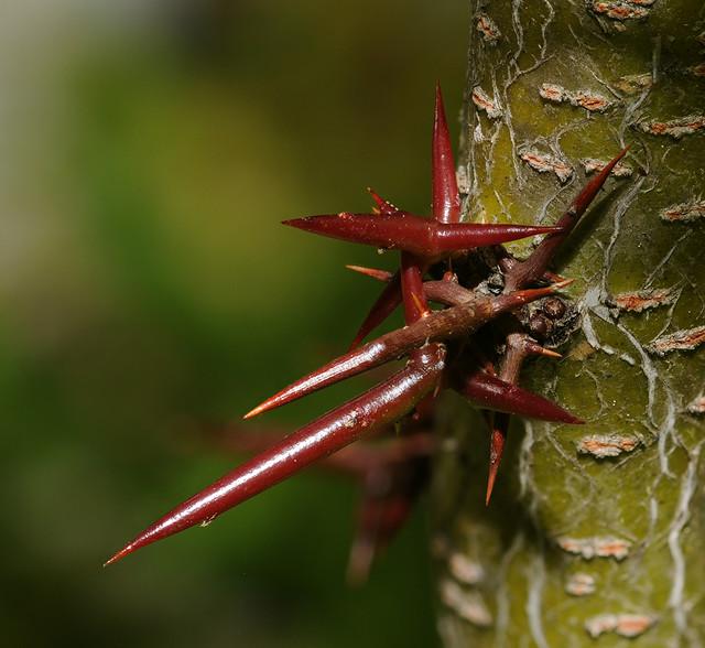 Gleditsia triacanthos spines