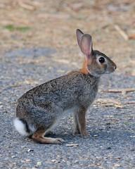 animal, hare, rabbit, domestic rabbit, fauna, wood rabbit, whiskers, rabits and hares, wildlife,