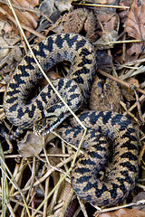 boas, animal, serpent, eastern diamondback rattlesnake, snake, reptile, hognose snake, grass snake, fauna, viper, rattlesnake, scaled reptile, kingsnake, wildlife,