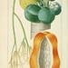 Flore pittoresque et médicale des Antilles v.1