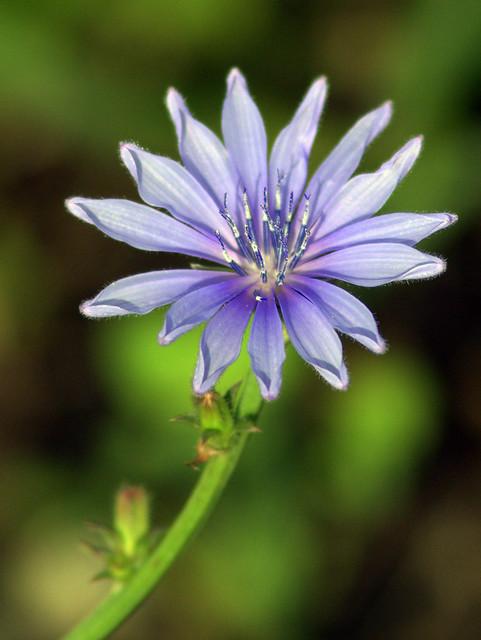 Chicory? 20110803