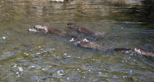 Otters on Joseph Creek