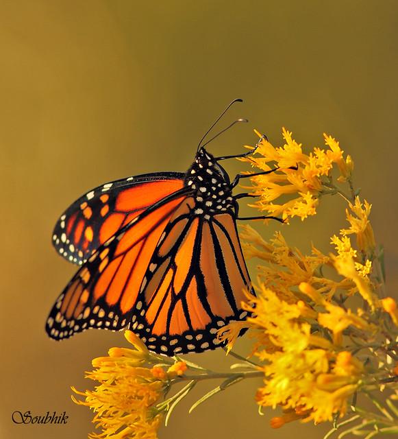 Z Gallerie Butterfly butterfly (3) - a gall...