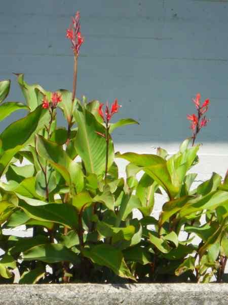 Canna indica-hybrida 'Hoja verde' v 2