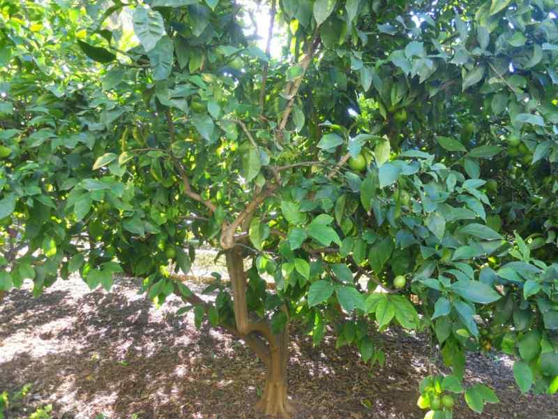 Citrus limon 'Mesero' 2
