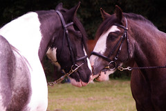 equestrianism, animal, mane, mare, rein, halter, bridle, pack animal, horse tack, horse, horse harness,