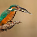 Kingfisher (IJsvogel)