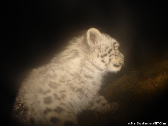 A camera trap in Qinghai, China snapped this photograph of a tiny snow leopard cub.   Learn how Panthera is working throughout Asia to save snow leopards like these at www.panthera.org/programs/snow-leopard/snow-leopard-program