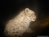 Fluffy snow leopard cub profile