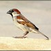 House Sparrow, Male by Mimi Six