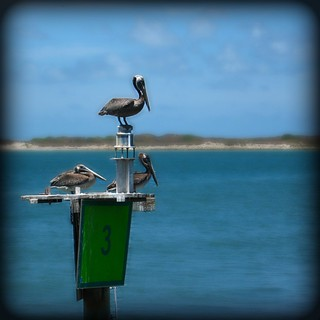 Pelicans on Post 3