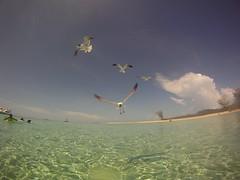 Sea Gulls - Bimini