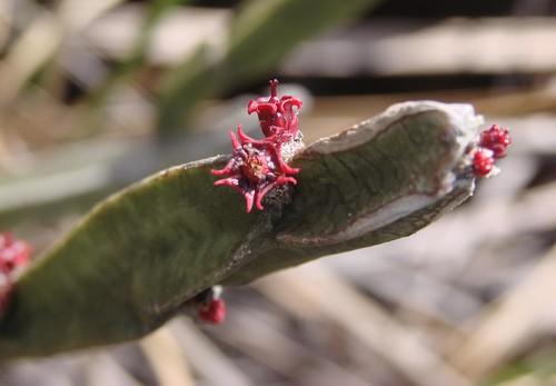 Euphorbia sipolisii
