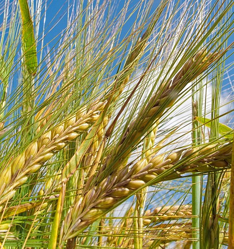 Ears of wheat ripen in the July sunshine at Weston Patrick in Hampshire