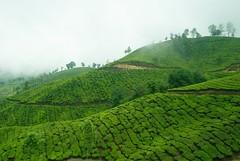 agriculture, shrub, field, leaf, valley, hill, hill station, highland, green, landscape, vegetation, rural area, plantation, mountainous landforms,