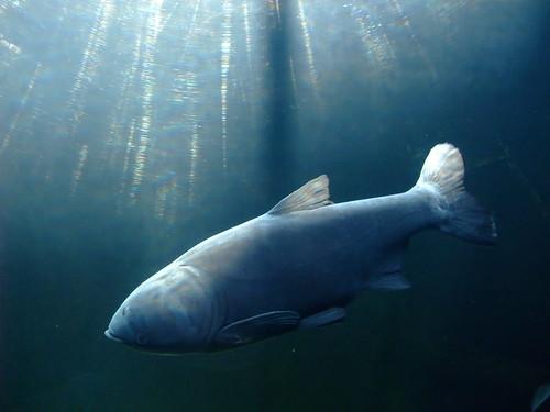 bighead carp image