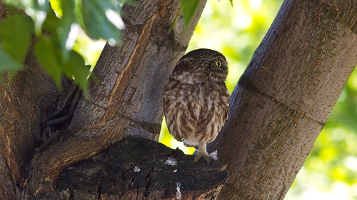 nature birds aves greece athene animalia strigiformes littleowl athenenoctua strigidae chordata φύση κουκουβάγια canonef400mmf56lusm imathia aggelochori πουλιά ημαθία αγγελοχώρι