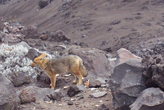tundra(0.0), goats(0.0), mountain goat(0.0), chamois(0.0), animal(1.0), mammal(1.0), fauna(1.0), wilderness(1.0), wildlife(1.0),