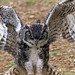 Great Horned Owl 1a