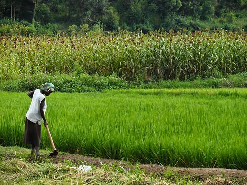 Rice farmer - Rwanda (1)
