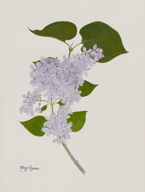 "Mary Ryniec, Syringa vulgaris 'President Lincoln', 2010. Lilac Collection. St. Petersburg watercolor  on Arches 140lb. hot press. 16"" x 12""."