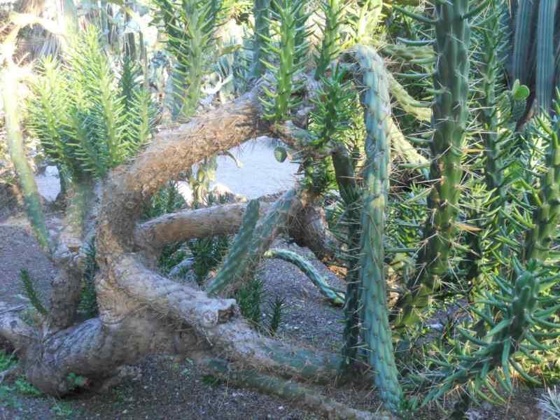 Opuntia subulata 2