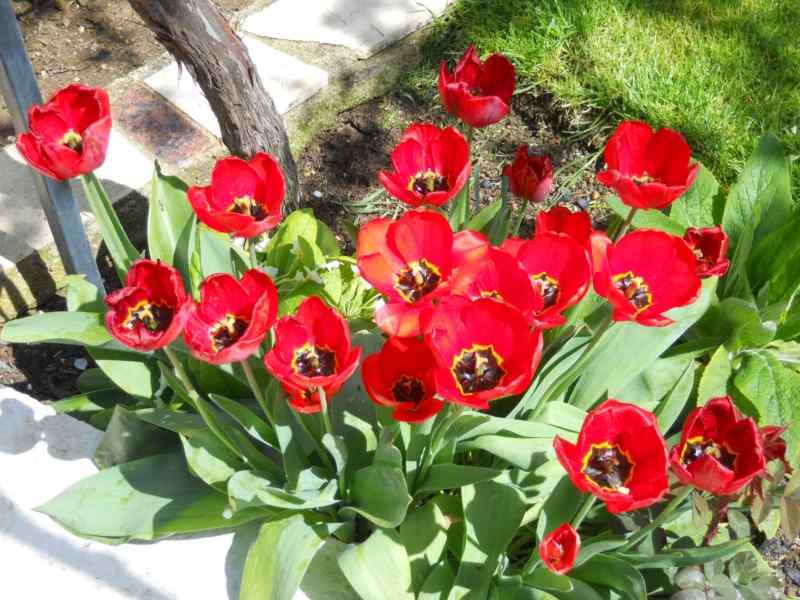 Tulipa darwin 3