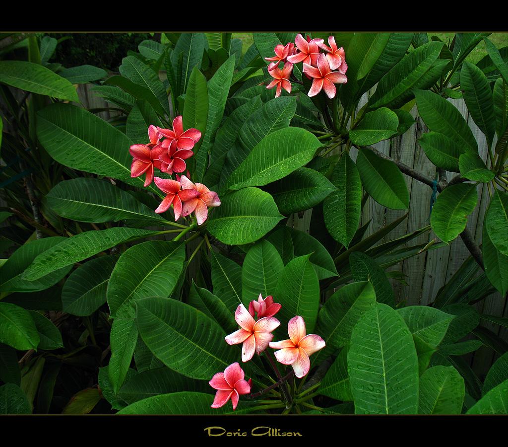 Mad plumerians most recent flickr photos picssr hawaiian flowers doric allison izmirmasajfo Images