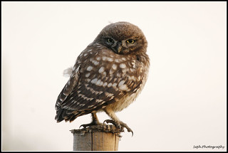 Little Owl Juv.