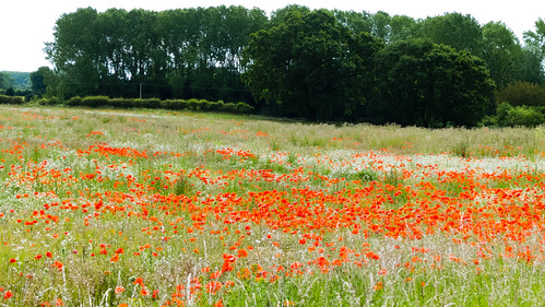 Poppies in a field near Tong