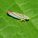 Red-banded Leafhopper - Photo (c) John Beatty, all rights reserved