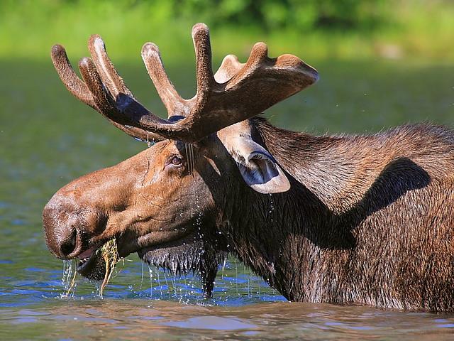IMG_5123 Moose, Glacier National Park