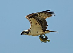 Osprey heading off to eat lunch