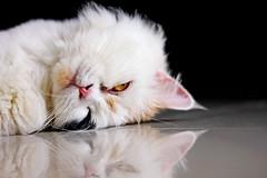[フリー画像素材] 動物 1, 猫・ネコ, 三毛猫 ID:201209181000