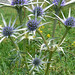Eryngium bougatii (Mark Galliott)