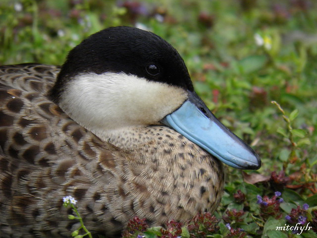 Blue-Billed Duck 2