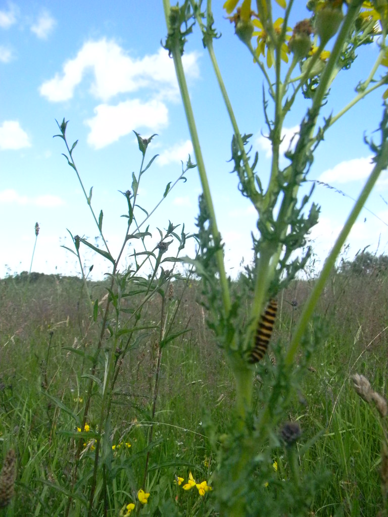 Cinnabar moth caterpillar On ragwort. Merstham to Tattenham Corner