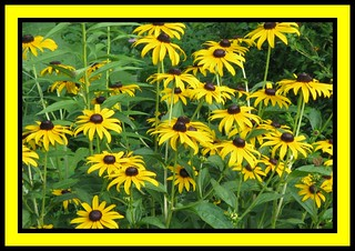 """Black - Eyed Susans"""